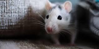 القضاء على الفئران