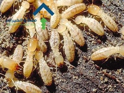 شركة مكافحة النمل الابيض شرق الرياض عمالة فلبينية